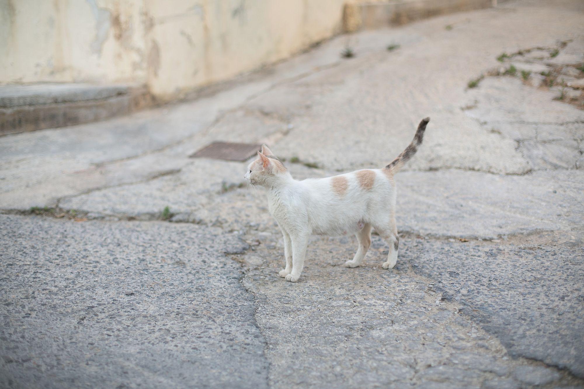 Stromernde Katze in Silas auf Kreta.